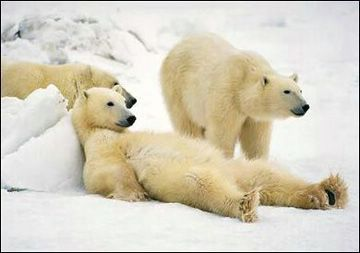 Polar Bears Relaxing now that CAGW is falsified